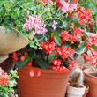 Geranium pots — Stock Photo #13608407