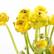 Yellow Ranunculus — Stock Photo #13764293