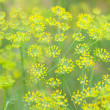 Flowers of dill — Stock Photo