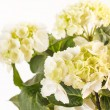Beautiful hydrangea — Stock Photo #13765314