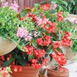Geranium pots — Stock Photo #13767168