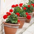 Geranium pots — Stock Photo #13768132