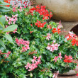 Geranium pots — Stock Photo #13769948