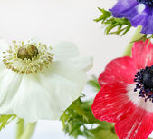Flores de anémona — Foto de Stock