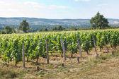 Krajobraz pięknych winnic — Zdjęcie stockowe