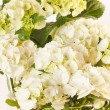 Beautiful hydrangea — Stock Photo #14129893