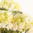 Beautiful hydrangea — Stock Photo #14138100