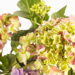 Beautiful hydrangea — Stock Photo #14485251