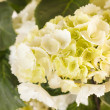 Beautiful hydrangea — Stock Photo #14507021