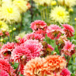 Closeup of colorful dahlias — Stock Photo #14677745