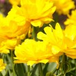 Field of tulips — Stock Photo #14678245