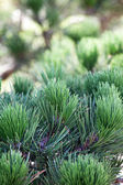 Pine in the garden — Stock Photo