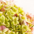 Beautiful hydrangea — Stock Photo #14888937
