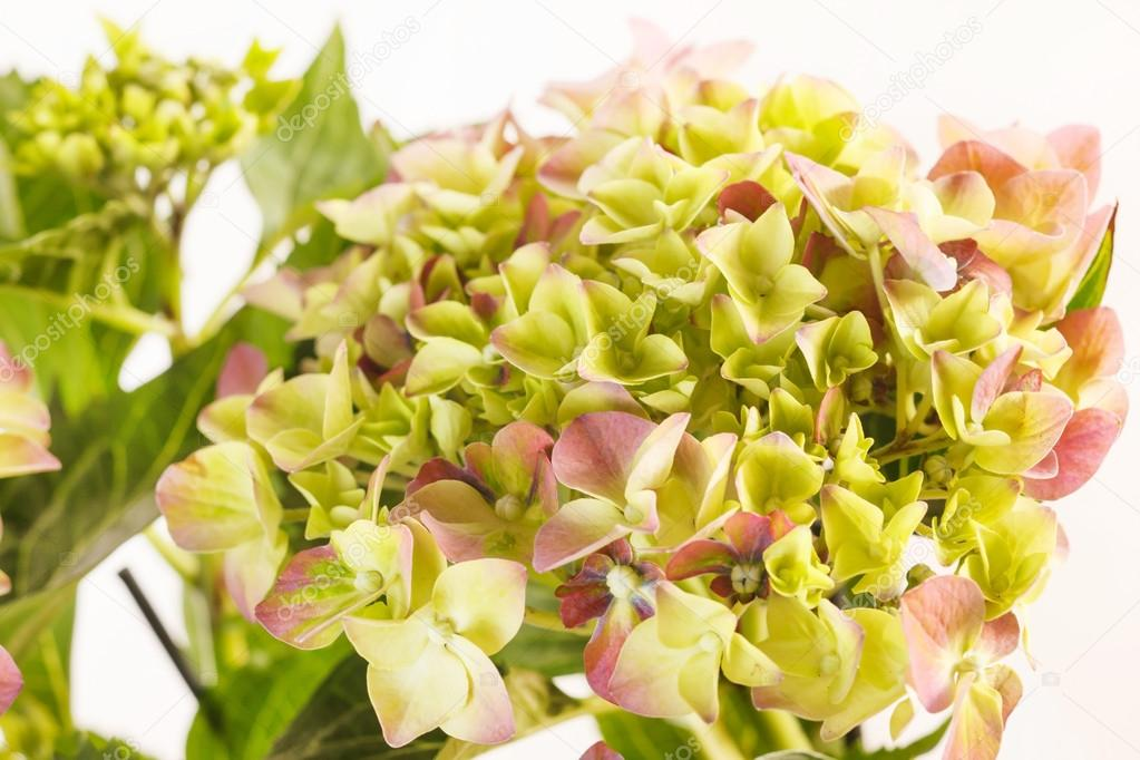 Beautiful hydrangea — Stock Photo #15443277