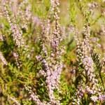 Field of heather — Stock Photo #15831589