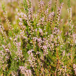 Field of heather — Stock Photo