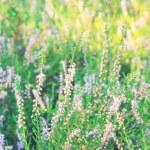 Field of heather — Stock Photo #16956725