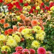 Closeup of colorful dahlias — Stock Photo #16957317