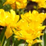Field of tulips — Stock Photo #16957819