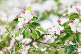 Pembe elma çiçekleri — Stok fotoğraf