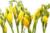 Yellow freesia — Stock Photo