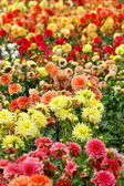 Closeup of colorful dahlias — Stock Photo