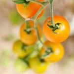Garden tomatoes — Stock Photo
