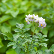 Flower of potato plant — Stock Photo