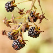 Blackberries — Stock Photo #18001613