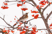 Fieldfare on the tree — Zdjęcie stockowe