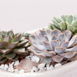 Stock Photo: Succulent plants