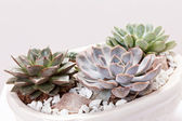 Succulent plants — Stock Photo