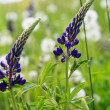 Lupin blossom — Stock Photo #18354867