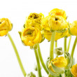 Yellow Ranunculus — Stock Photo #18360539