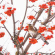 Fieldfare on the tree — Stock Photo