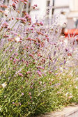 Flores de lavanda — Foto de Stock