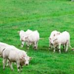 White cows — Stock Photo