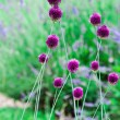 Chive flowers in a garden — Stock Photo