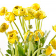 Yellow Ranunculus — Stock Photo #18761113