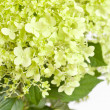 Beautiful hydrangea — Stock Photo #18841513