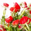 Red Ranunculus — Stock Photo #18893943