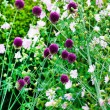 Stock Photo: Chive flowers in a garden
