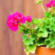 Geranium in the pot - Stock Photo