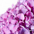 Beautiful hydrangea — Stock Photo #19663625