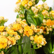 Houseplant 'Kalanchoe' in pot — Stock Photo