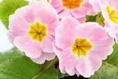 Pink primrose — Stock Photo