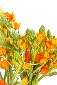 Orange freesia — Stock Photo