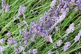 Lavendel blommor — Stockfoto