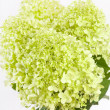 Beautiful hydrangea — Stock Photo #21788659