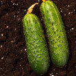 Stock Photo: Cucumbers on soil